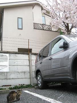 桜とねこさん